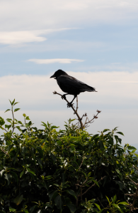 raven on arthur's seat in edinburgh, scotland